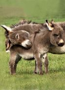 cuddle donkeys.jpg